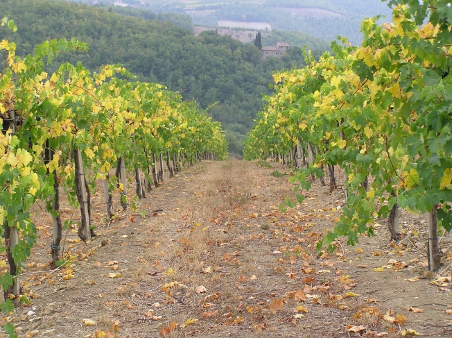 Vineyard row, Chianti
